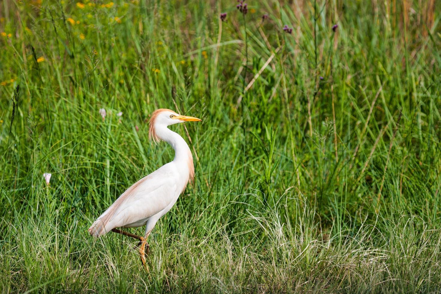 oiseau aigrette blanche photo