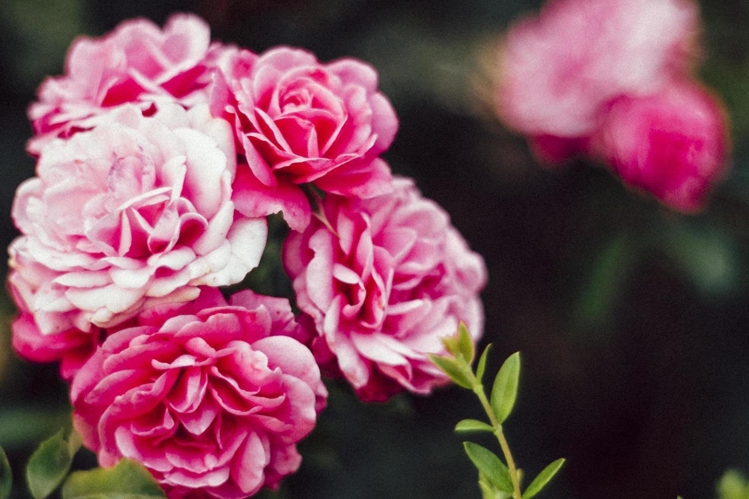 fleurs roses en mise au point sélective photo