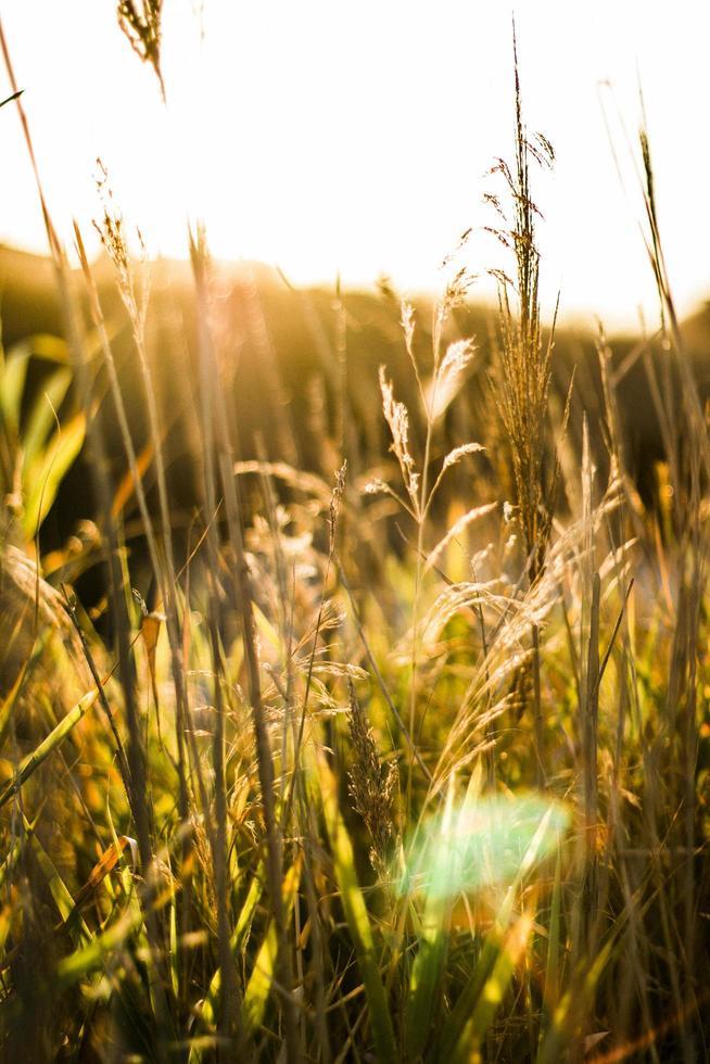 champ de blé avec des rayons de soleil photo