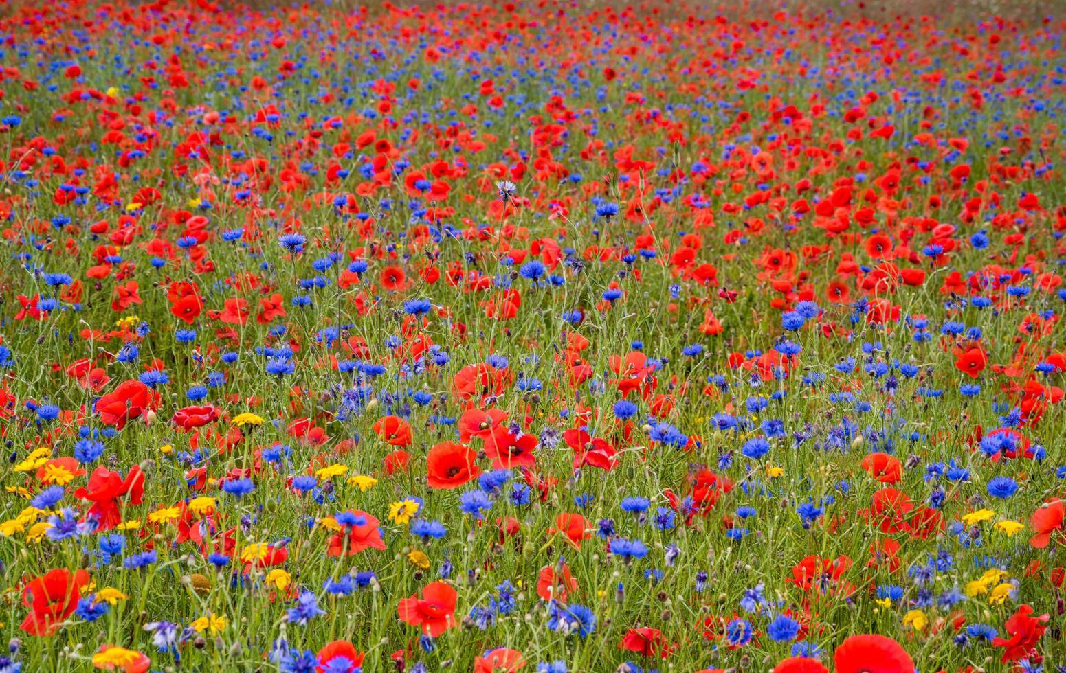 champ de fleurs sauvages photo