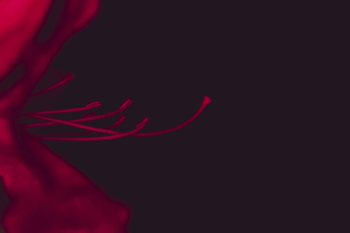 étamine de fleur d'azalée photo