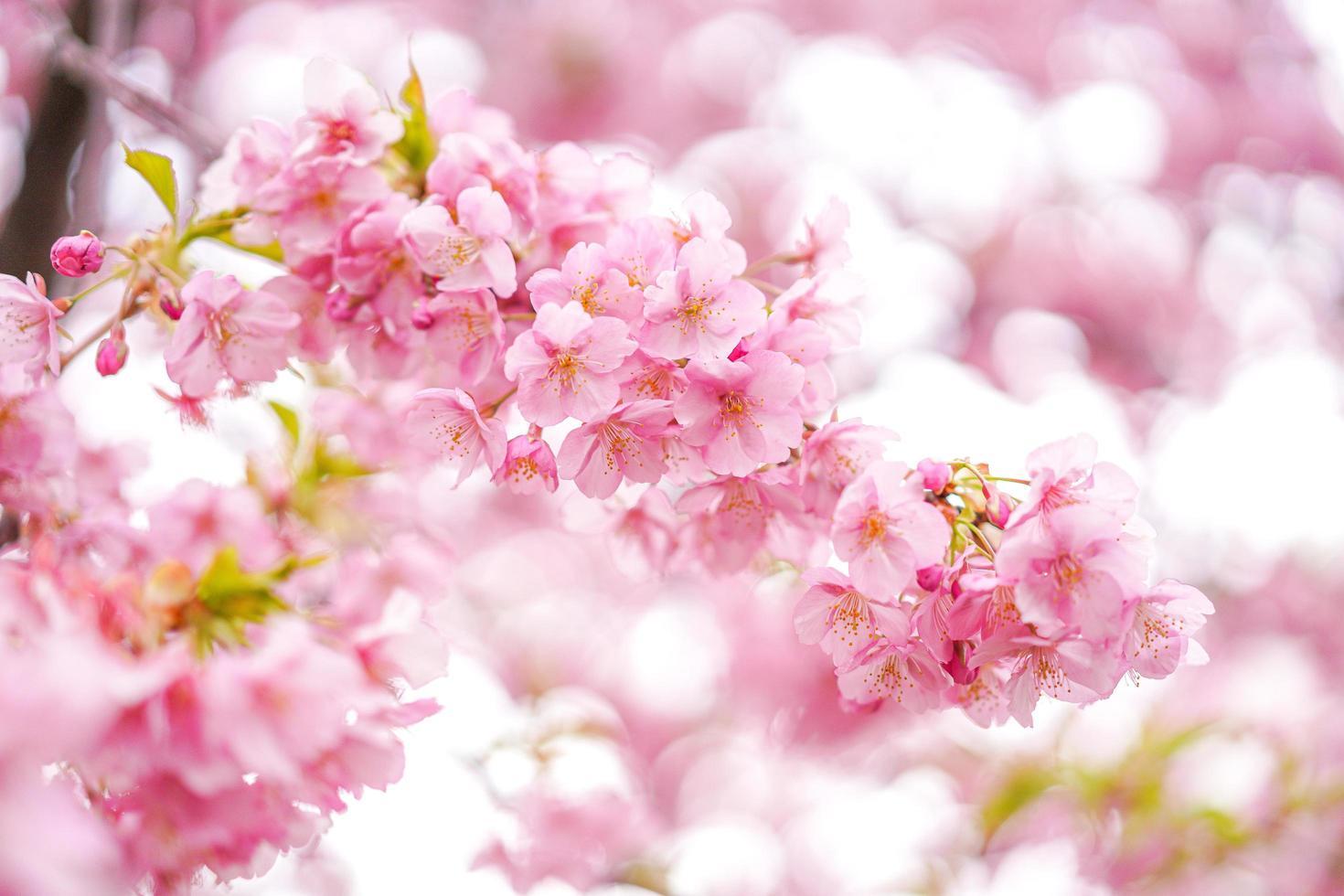 gros plan, cerisiers, fleurs photo