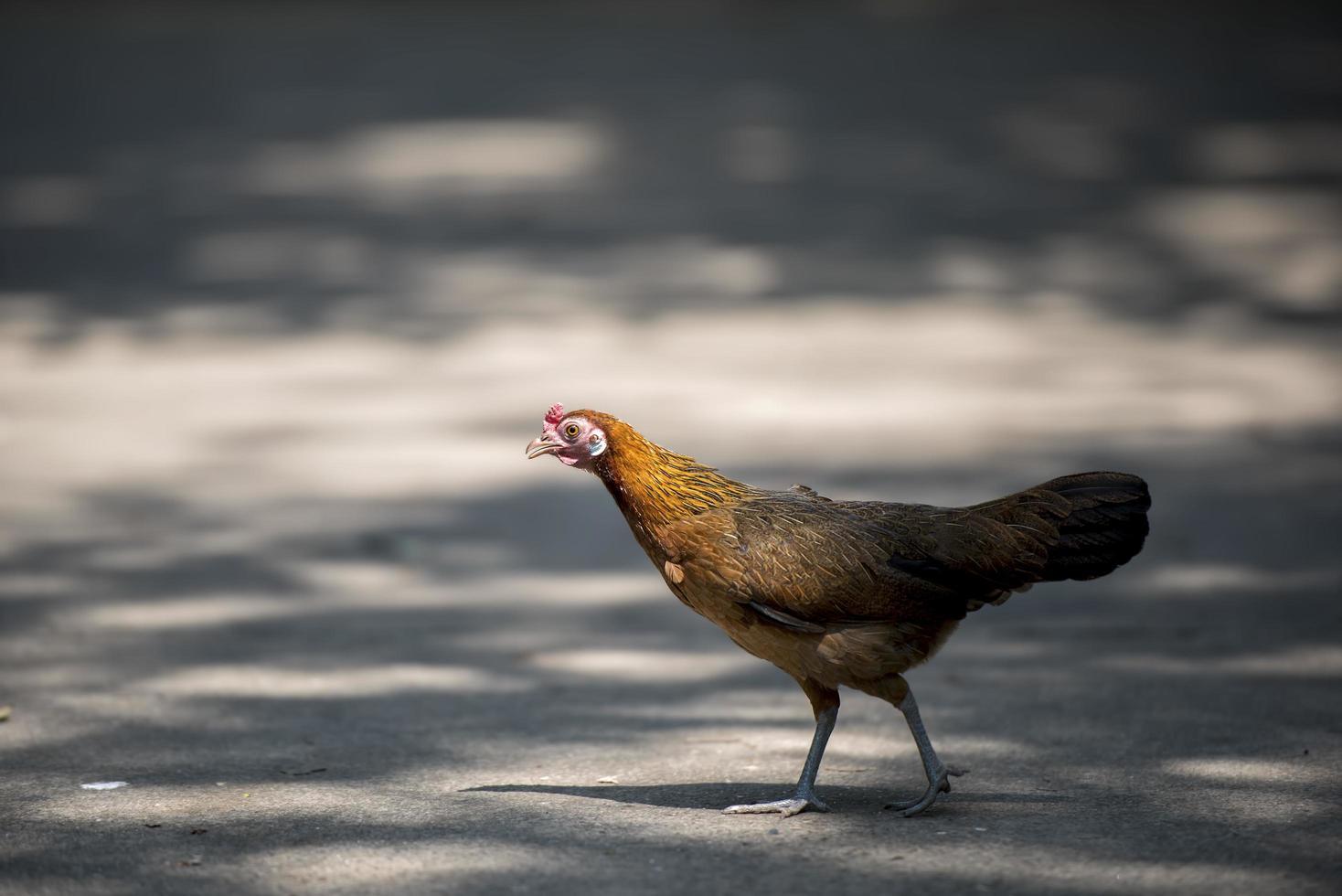 poule traverse la route photo