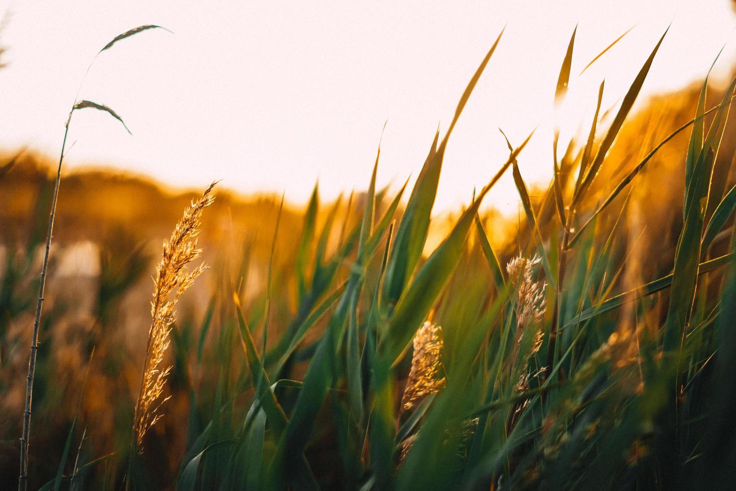 champ de blé à l'heure d'or photo