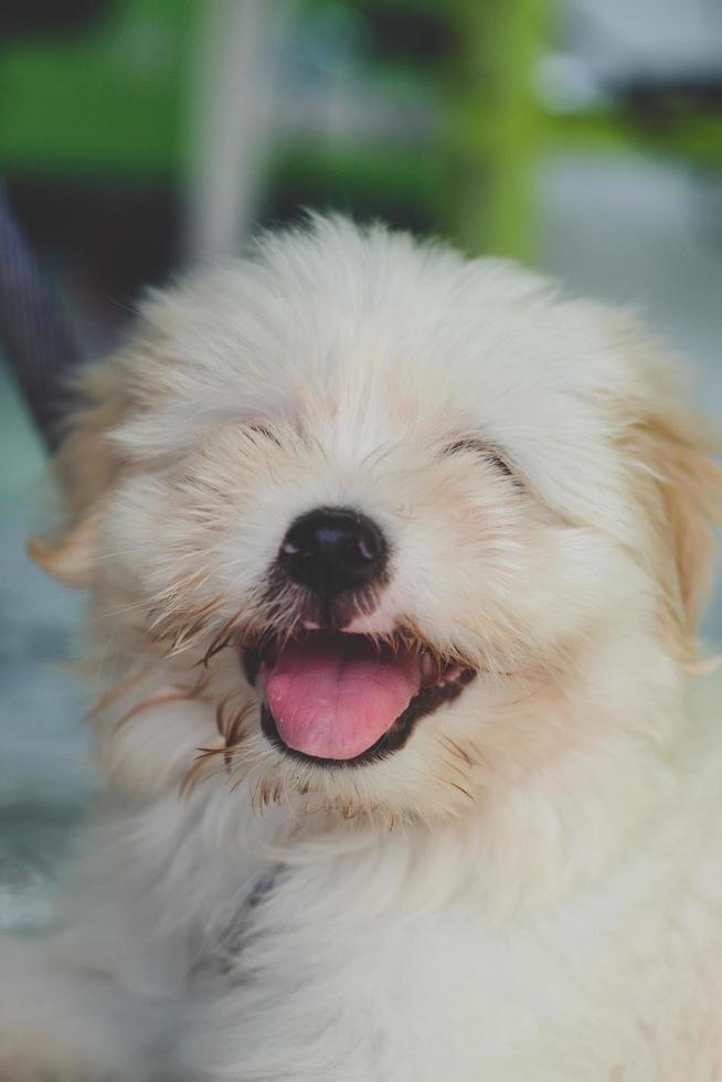 chiot blanc souriant photo
