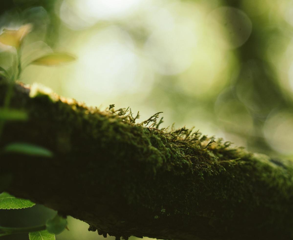 mousse sur une branche d'arbre photo