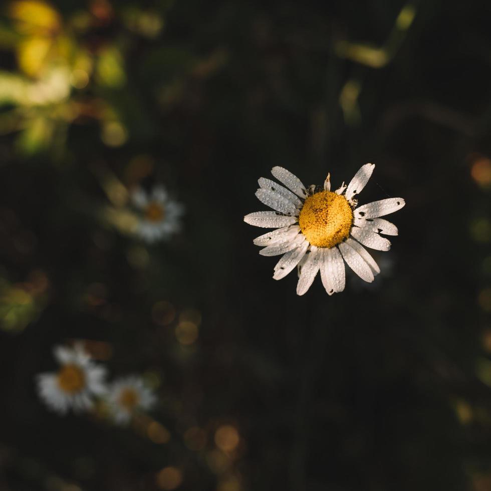 fleur blanche et jaune photo
