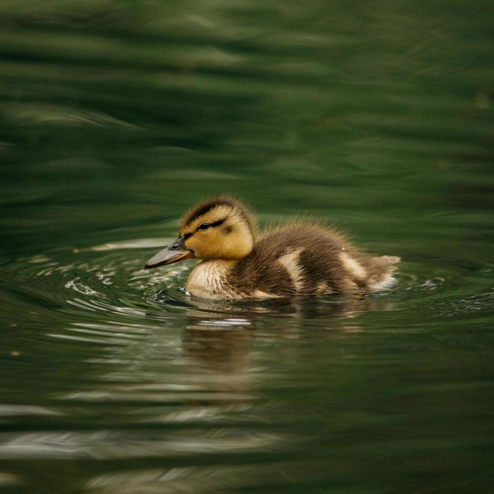 canard brun nage dans l'eau photo