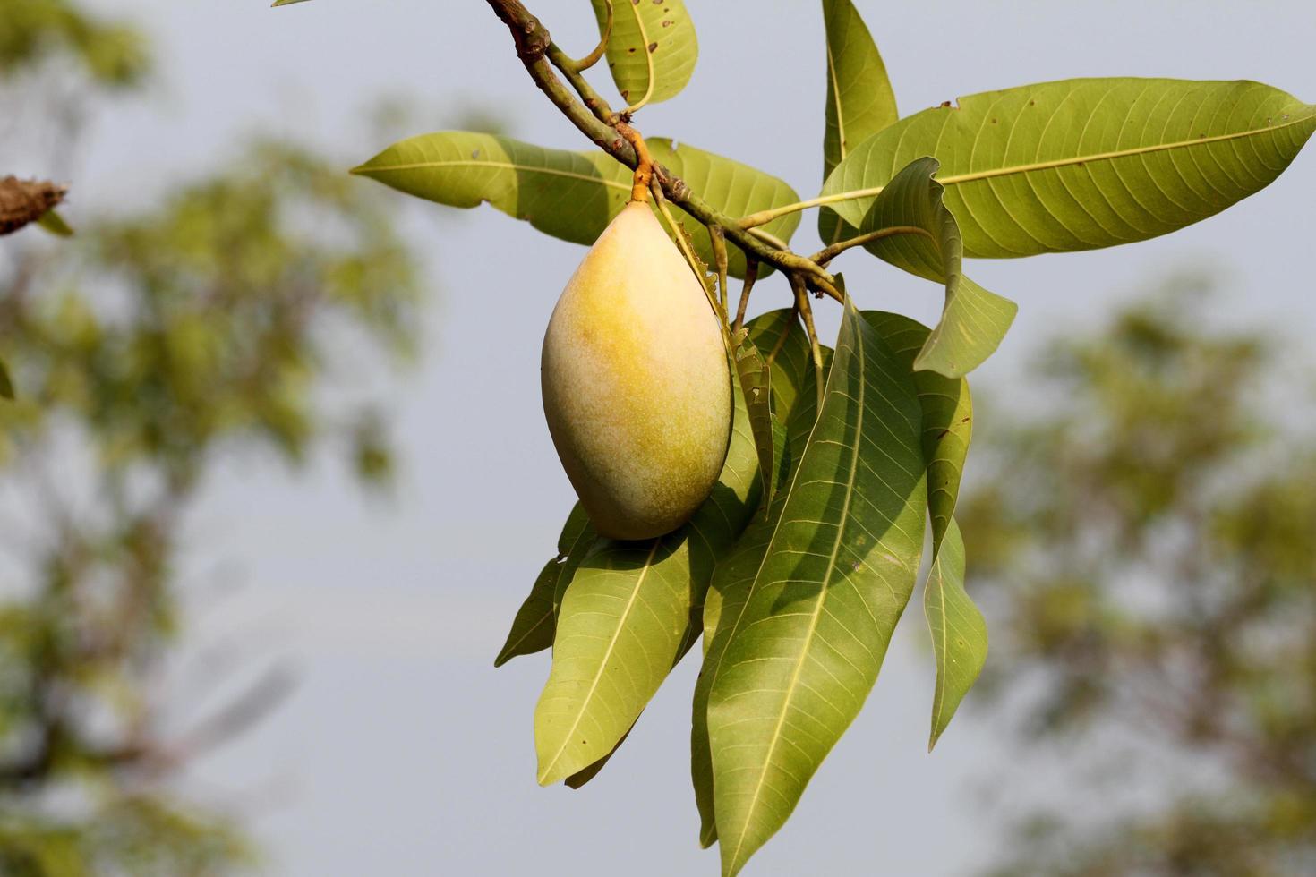 mangue verte sur branche photo