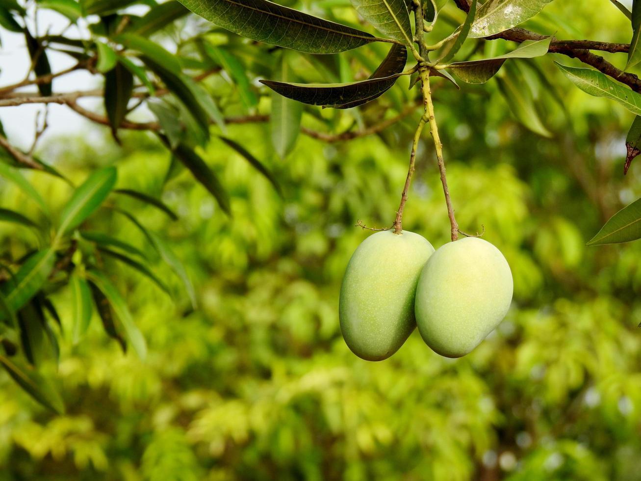mangues vertes sur branche photo