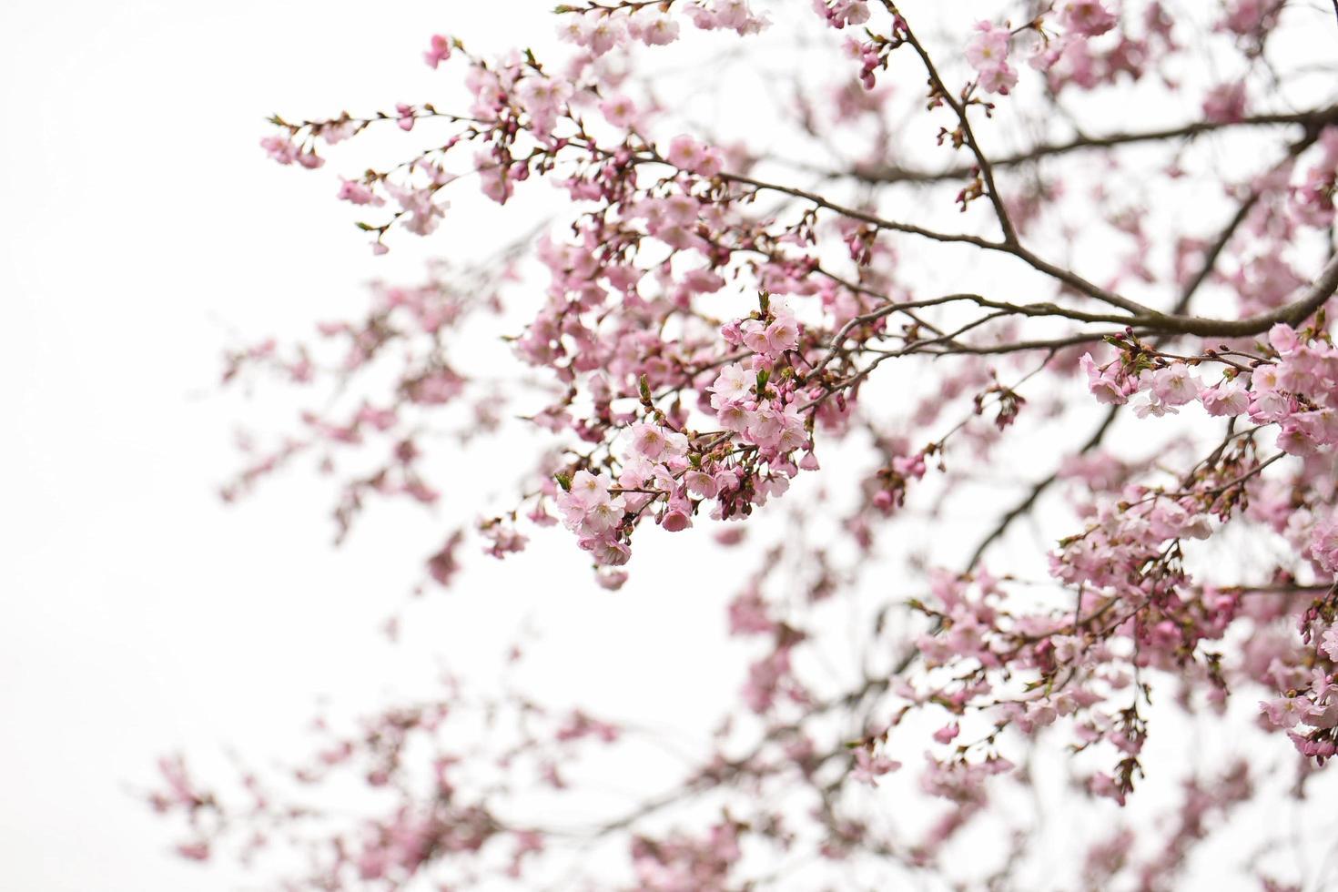 fleurs de cerisier rose dans un ciel couvert photo