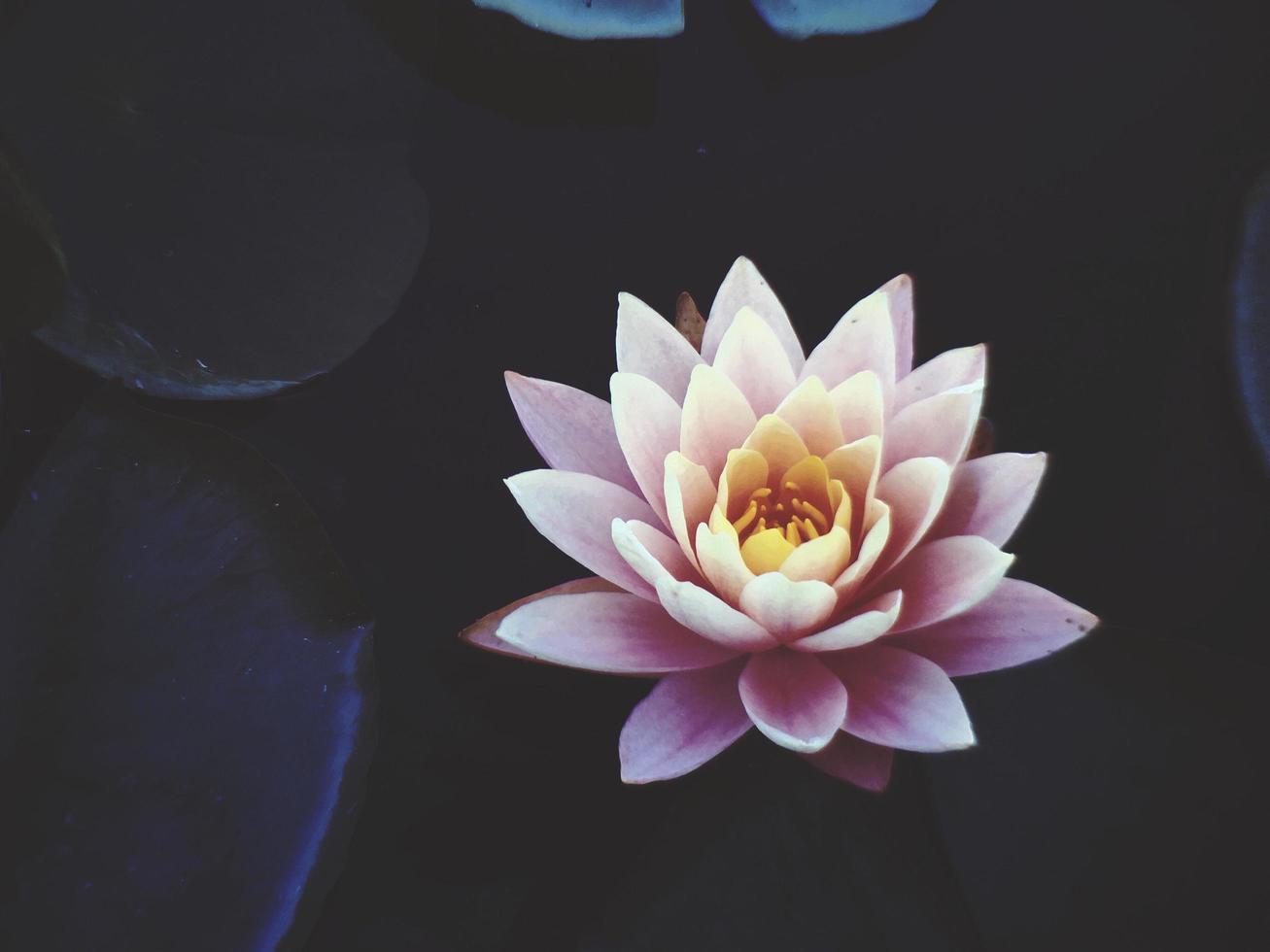 fleur de nénuphar rose en pleine floraison photo