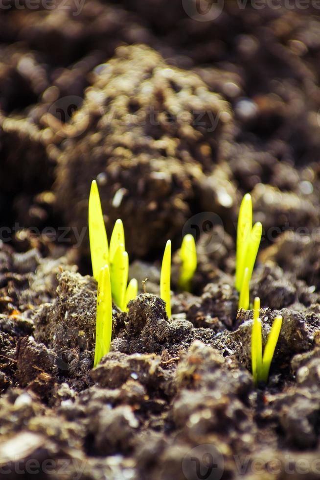 Vue macro de la pousse de plus en plus de graines, concept de printemps photo