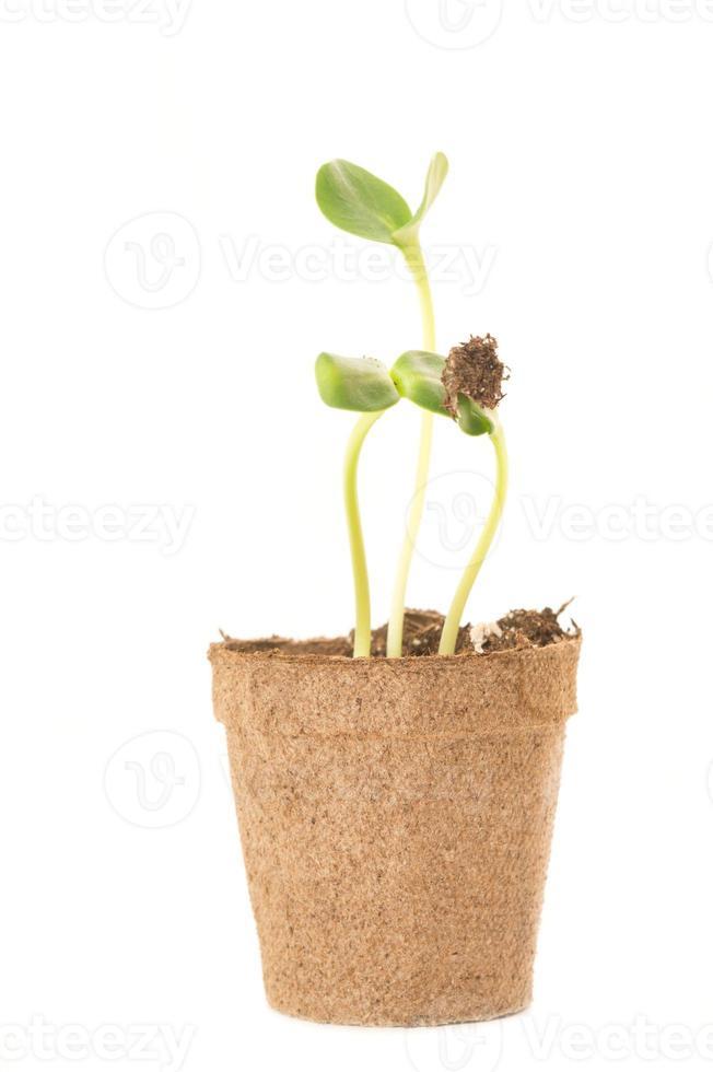 Semis de tournesol dans un pot brun de tourbe photo