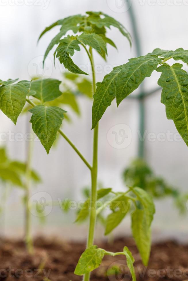 plants de tomates dans le lit de semence à l'intérieur de la serre photo