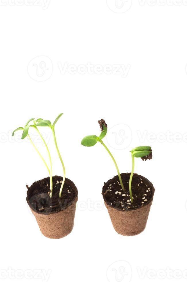 Deux semis de tournesol dans un pot brun de tourbe photo