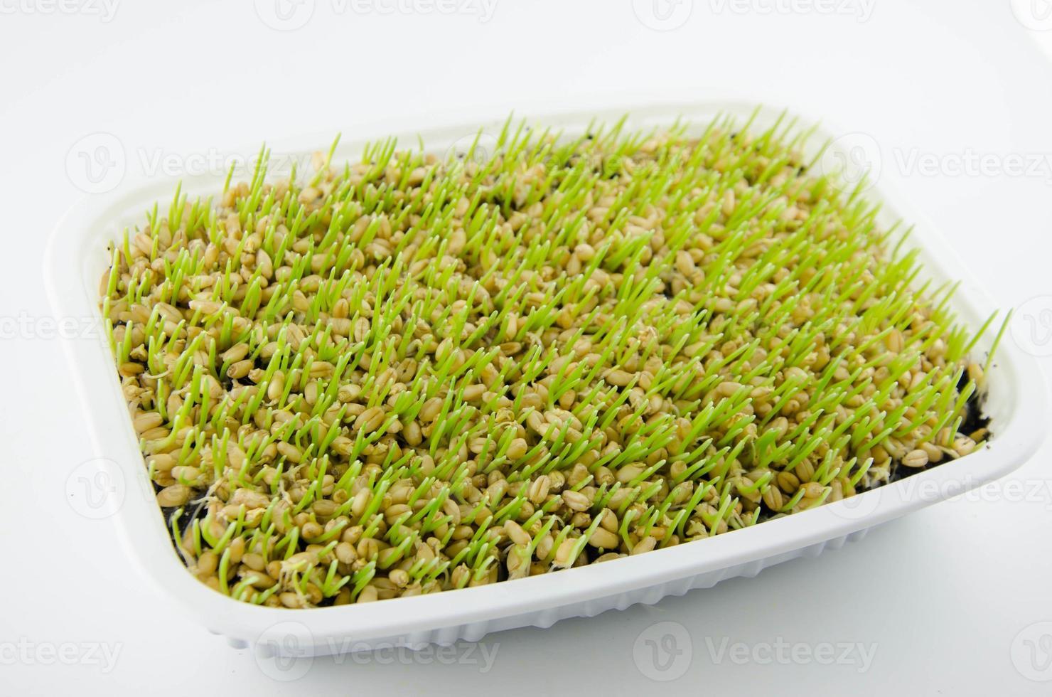 germes de blé photo