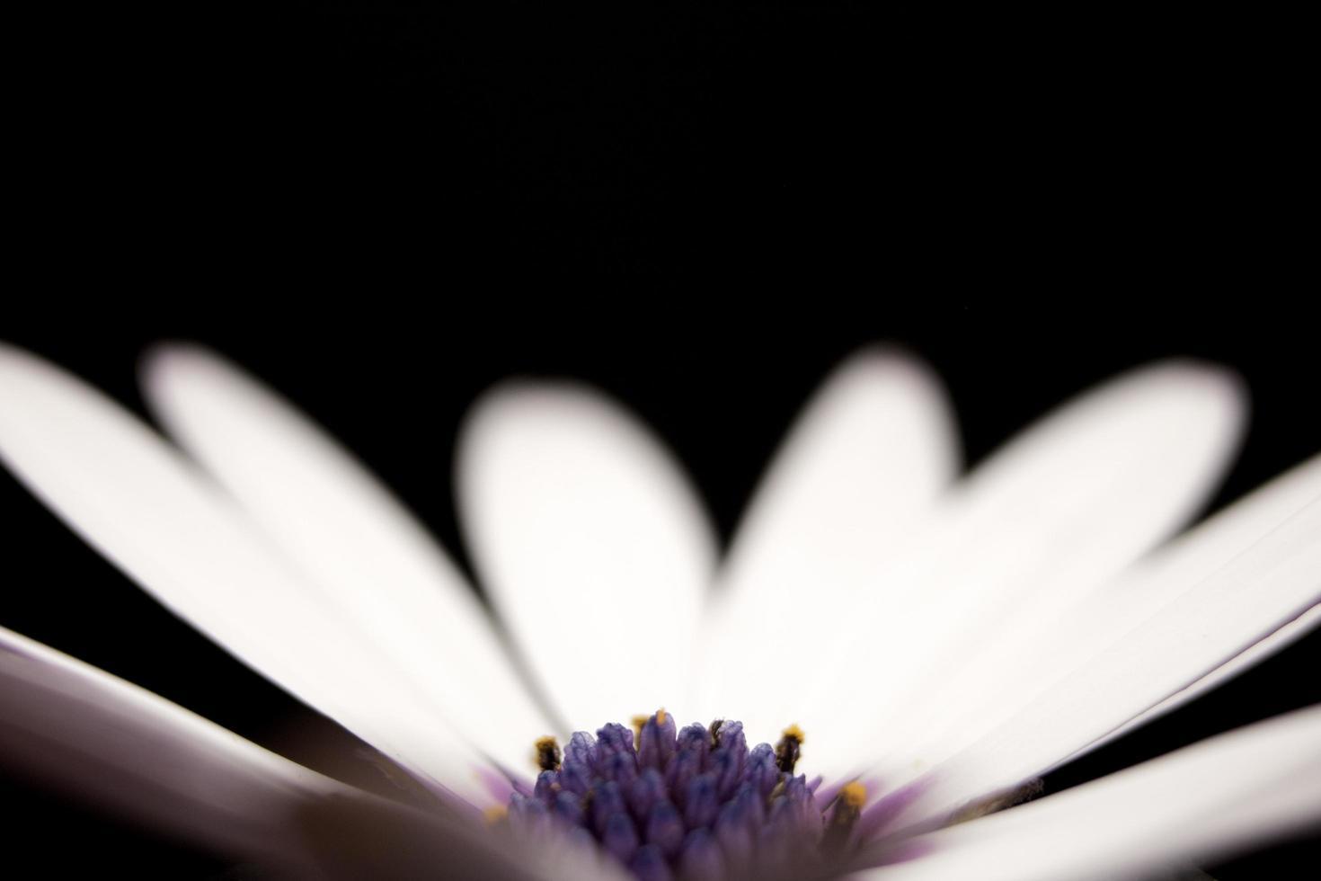 pétales de fleurs blanches et violettes sur fond noir photo