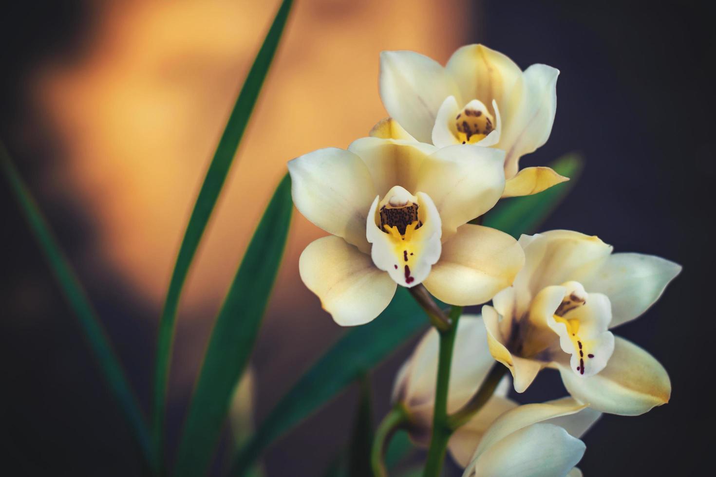 fleurs d'orchidées blanches et jaunes photo