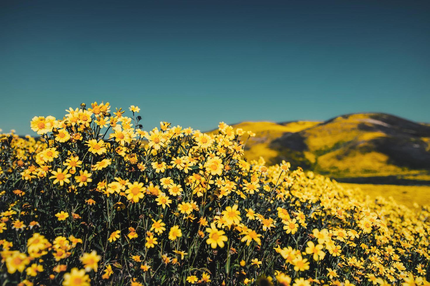 gros plan, de, champ fleur jaune photo