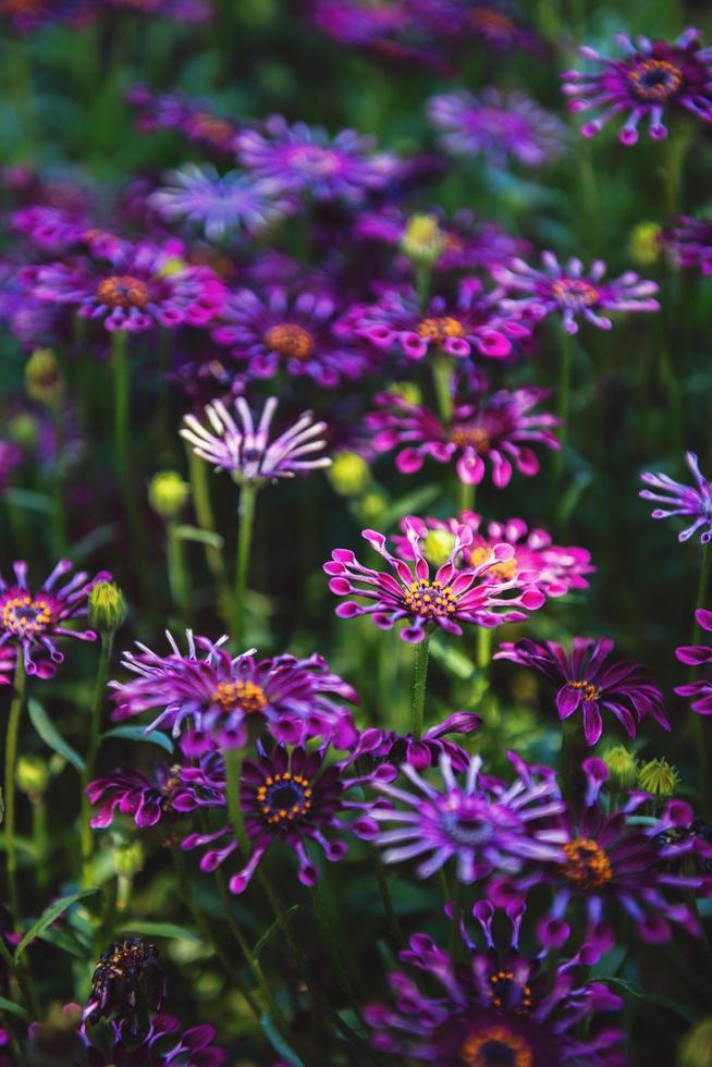 marguerites africaines trailing violet photo