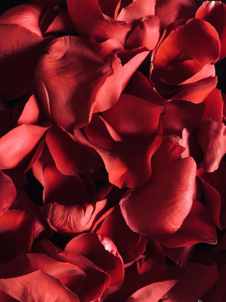 gros plan, de, pétales roses rouges photo