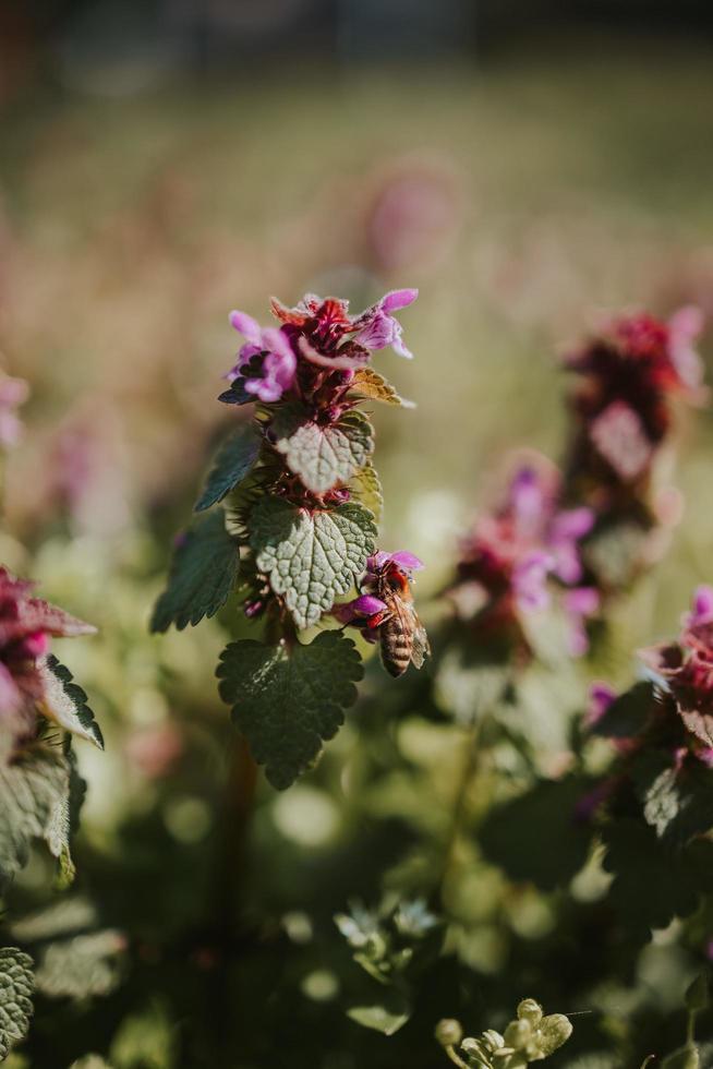 abeille en fleur rose photo