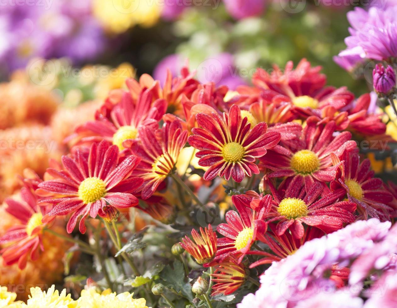 fleur rouge photo