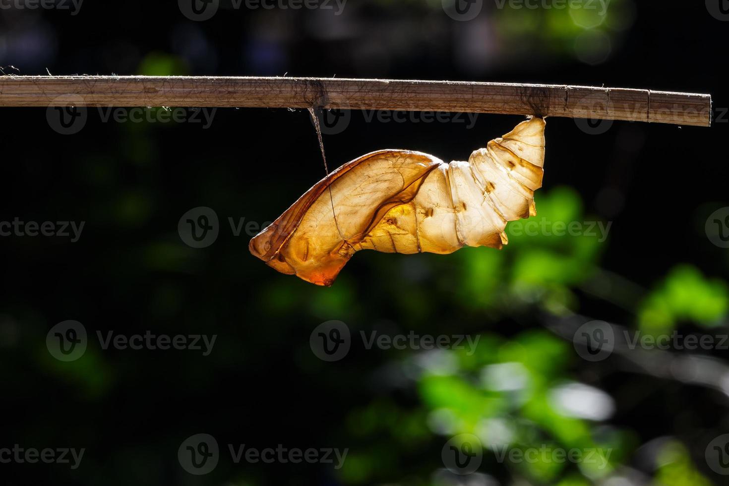 Chrysalide de coquille de papillon oiseau commun photo