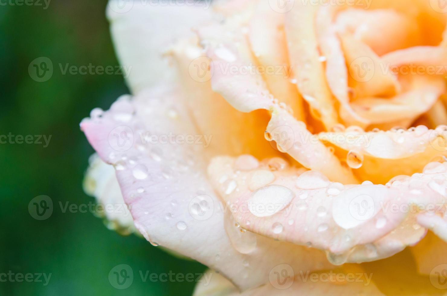 rose avec des gouttes de pluie photo