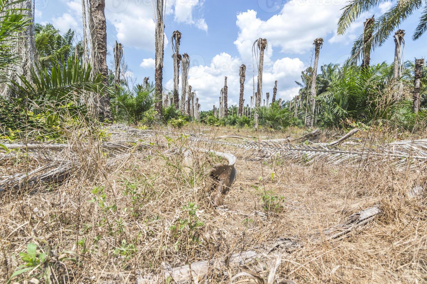 palmier à huile photo