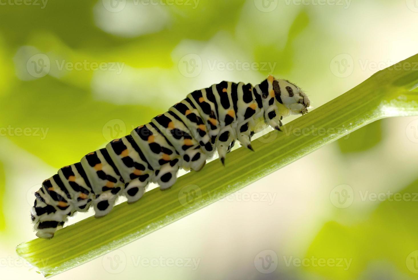 chenille monarque mangeant l'asclépiade photo