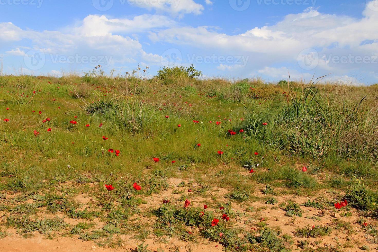 Prairie de printemps avec floraison de fleurs d'anémones rouges photo