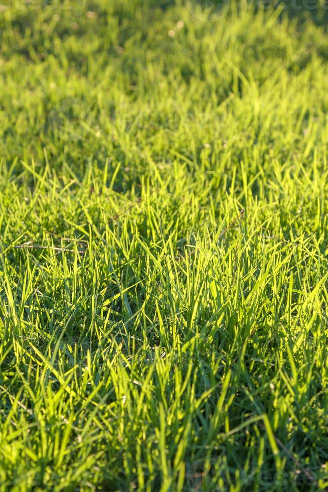 herbe verte fraîche sur une pelouse photo