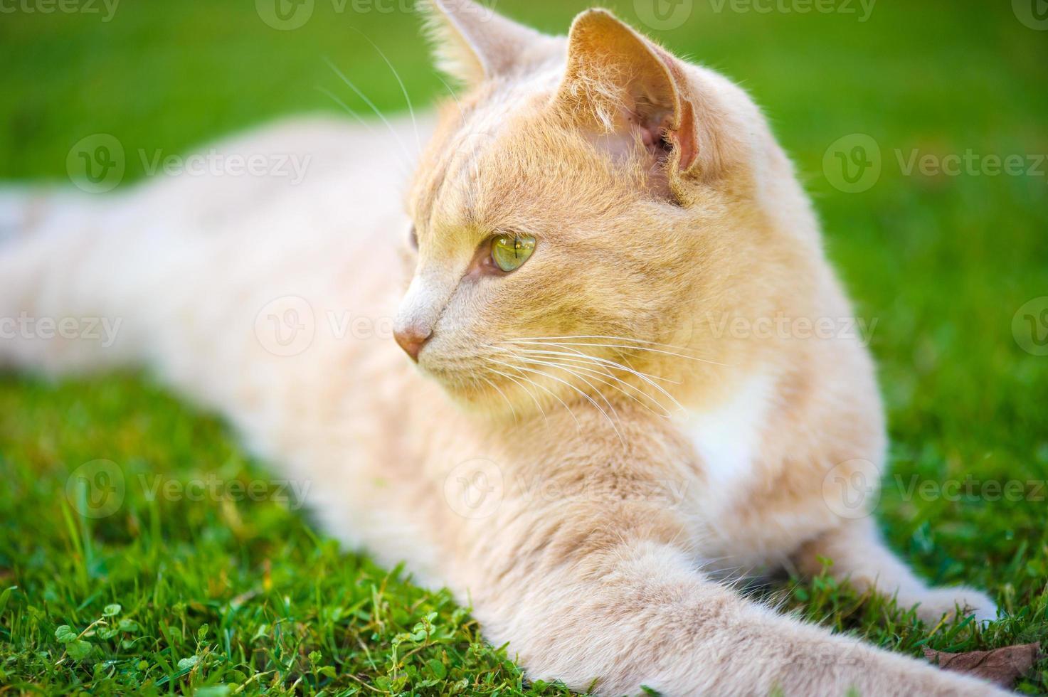 chat roux drôle photo