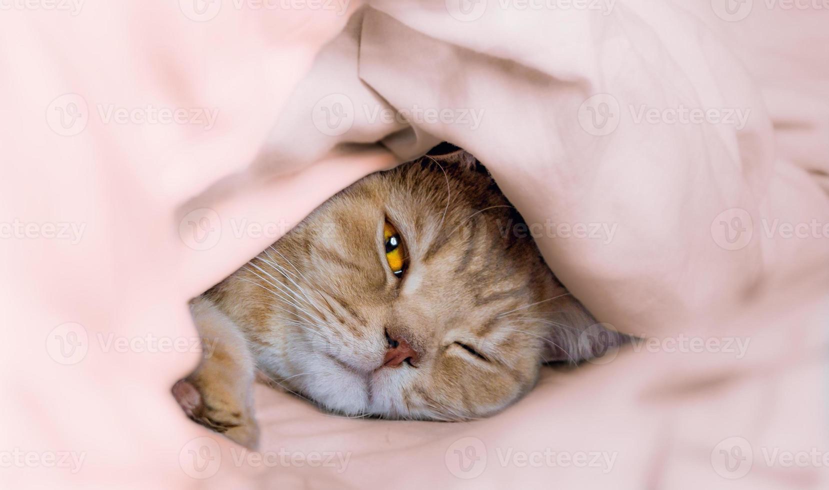 beau chat britannique. photo