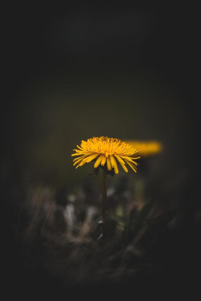 fleurs jaunes dans le noir photo