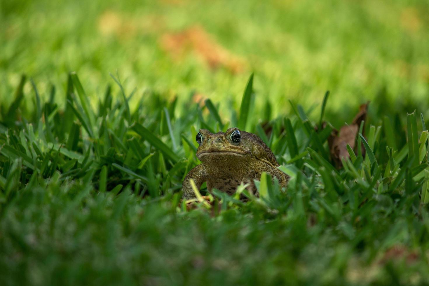 grenouille dans l'herbe verte photo