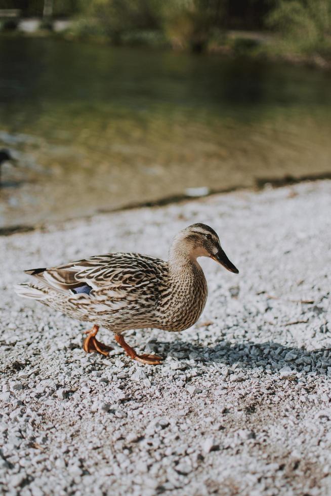 canard brun sur le rivage photo
