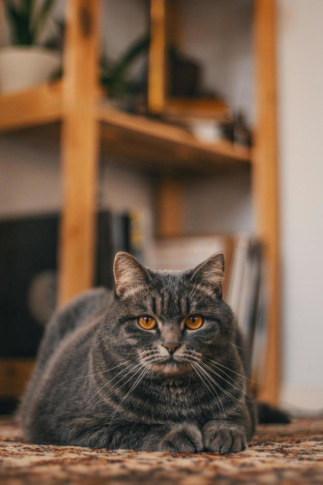 chat tigré gris photo