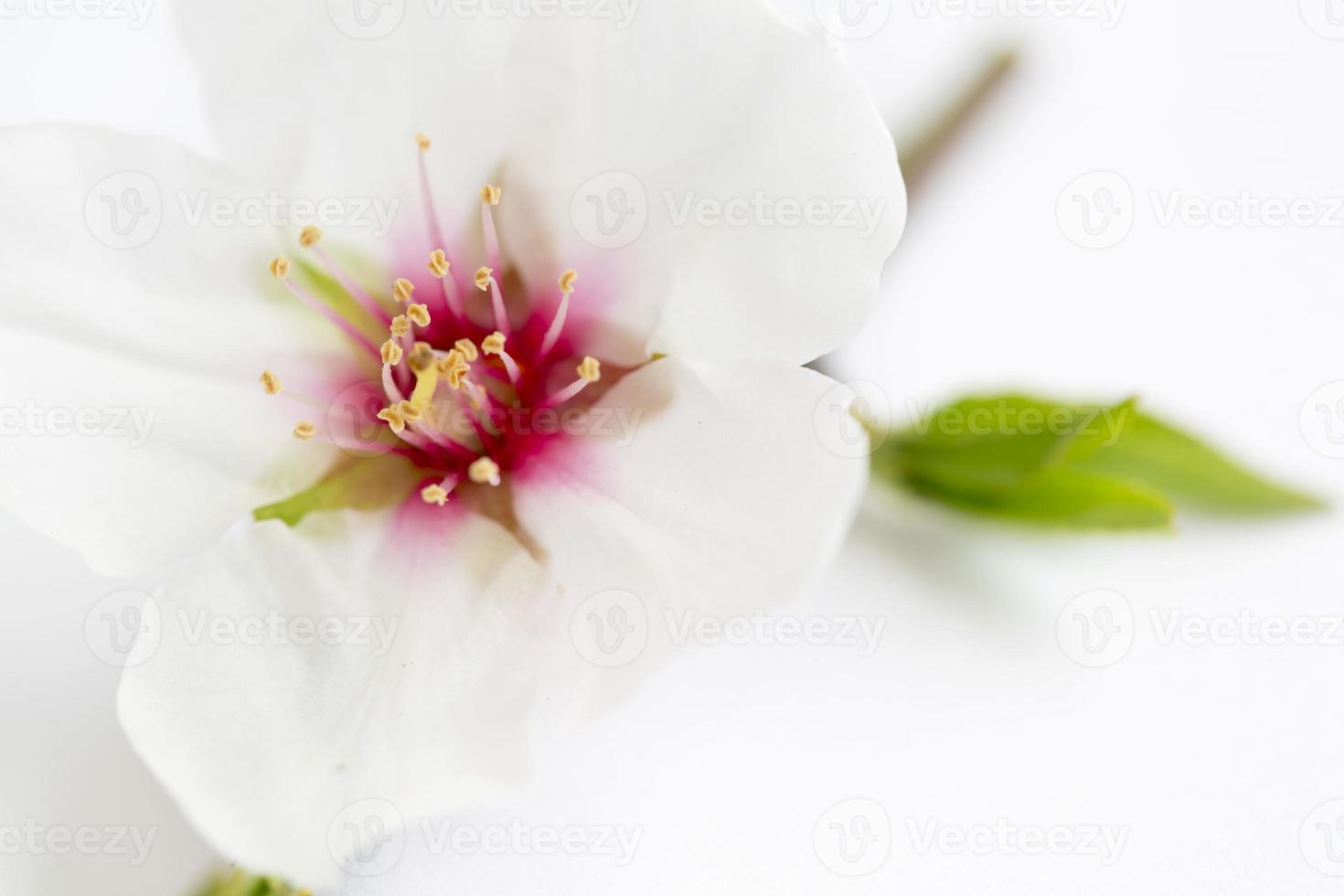 fleurs d'amandier photo