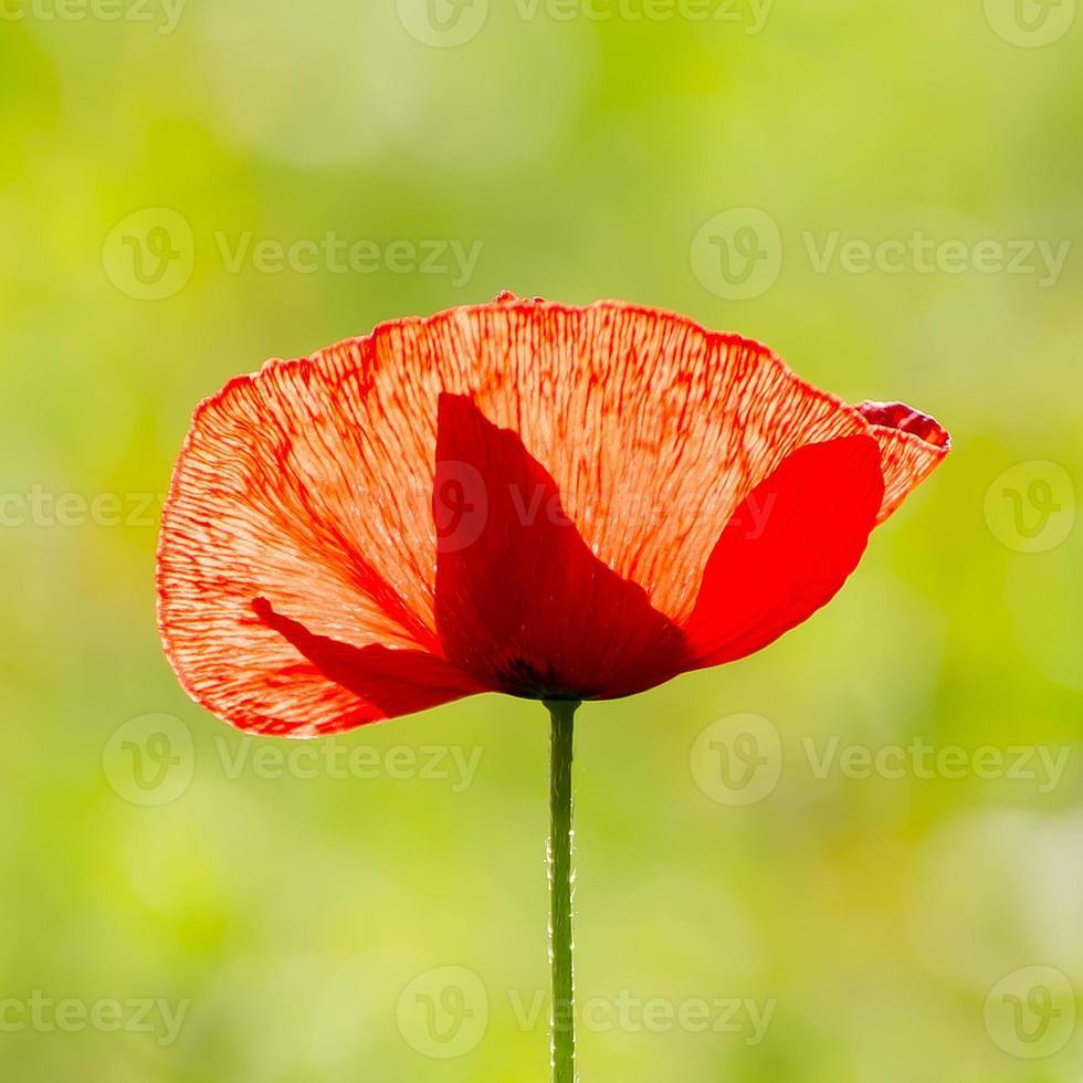 fleur de pavot, une seule fleur, rouge, champ photo