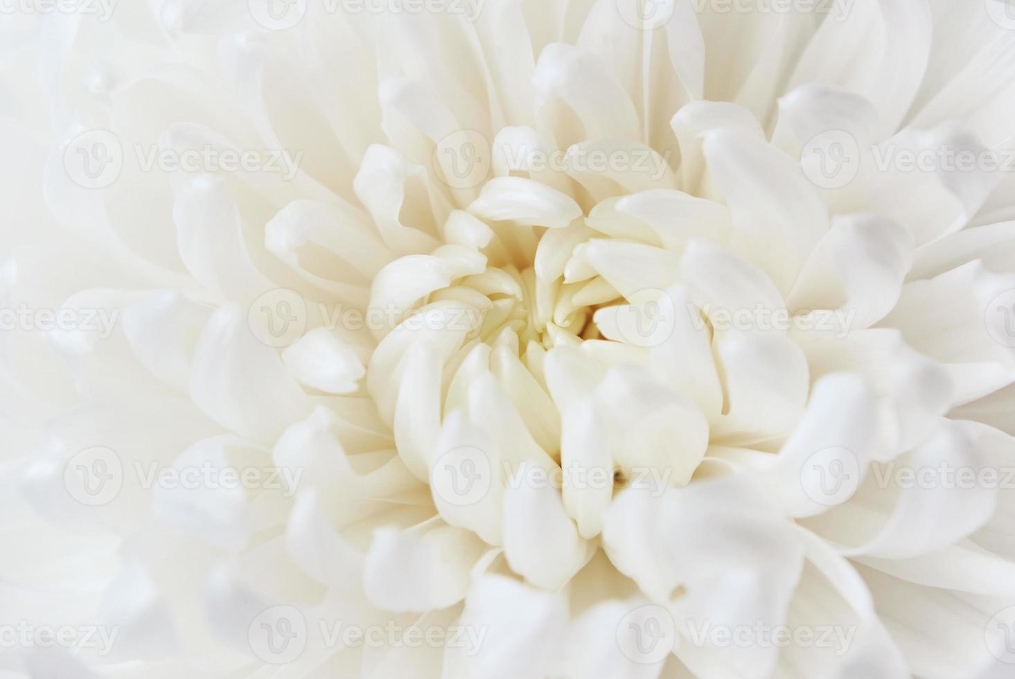 fleur de chrysanthème blanc photo