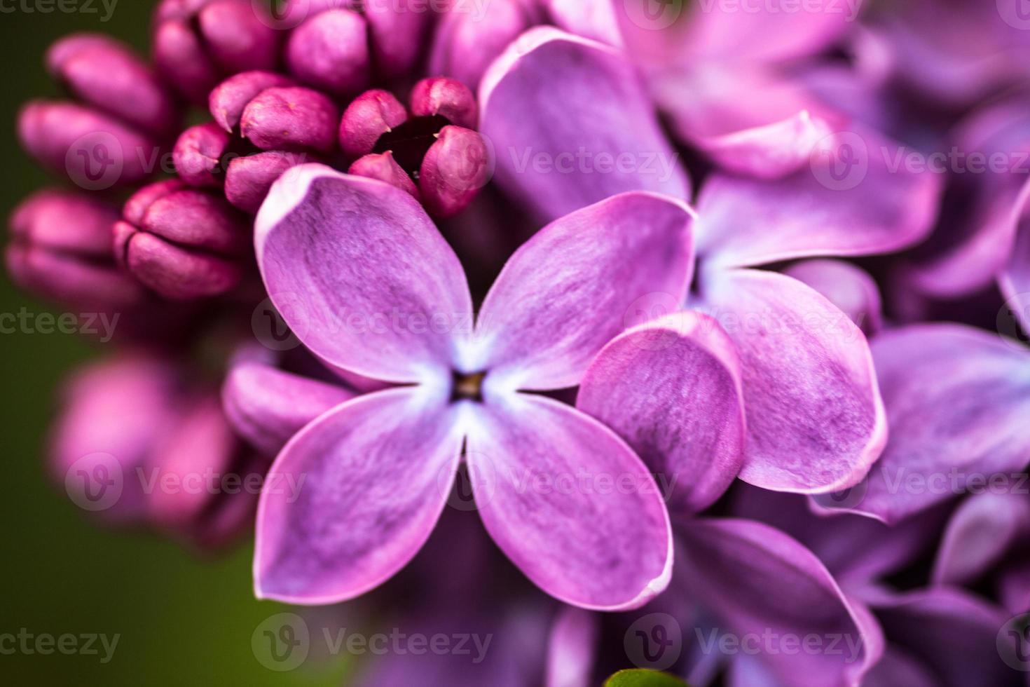 gros plan de fleurs lilas photo