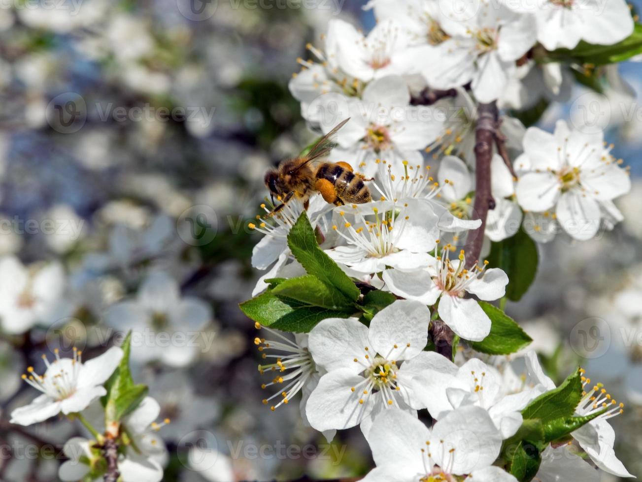 fleur de cerisier photo