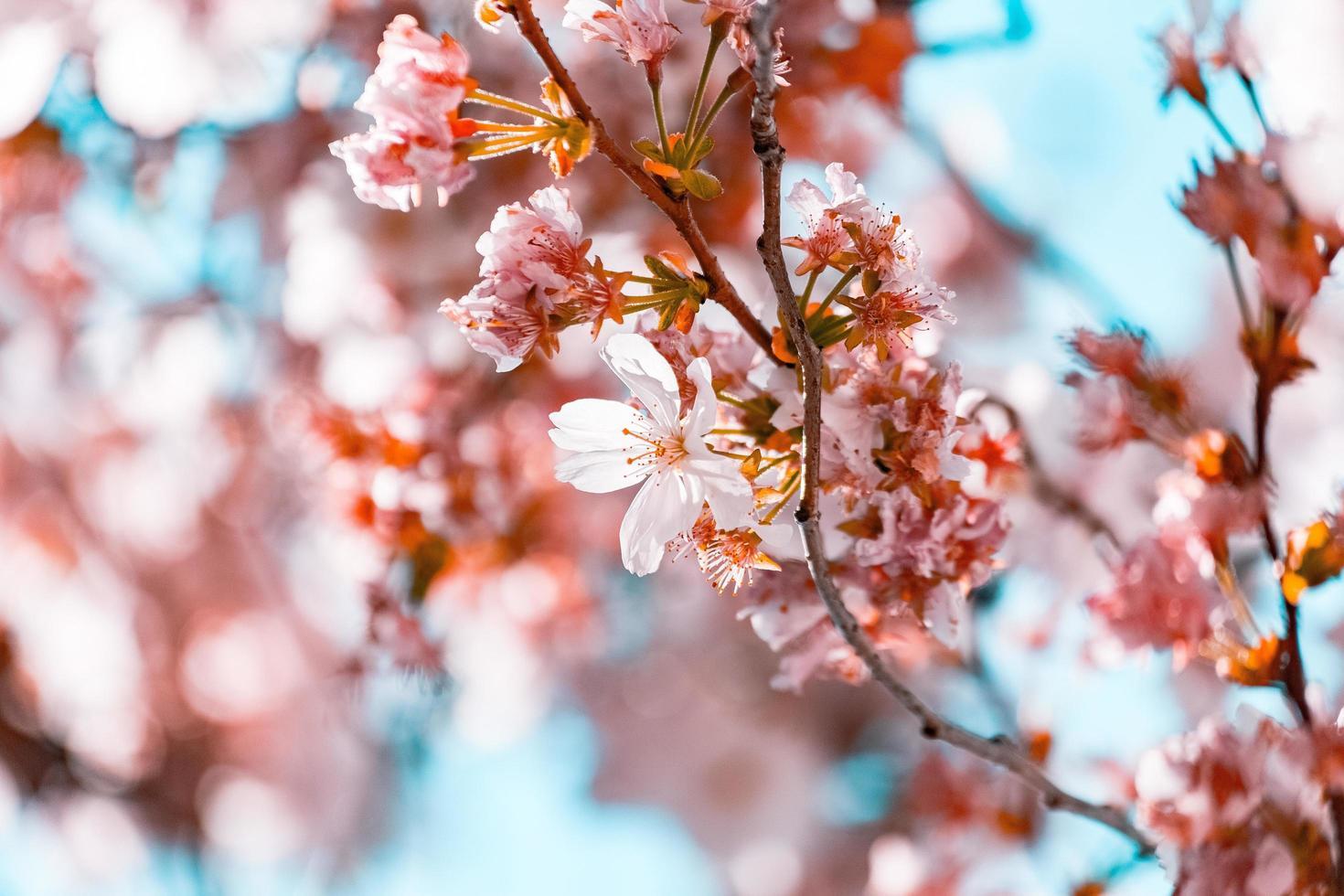 fleurs de cerisier blanc photo