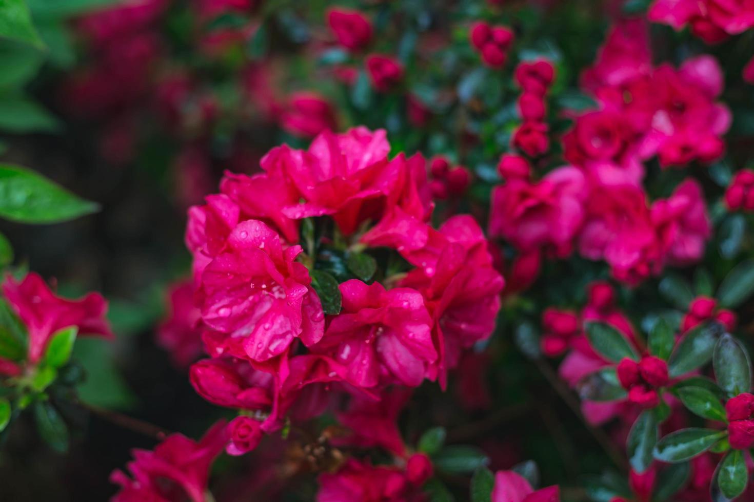 gros plan de fleurs rouge vif photo