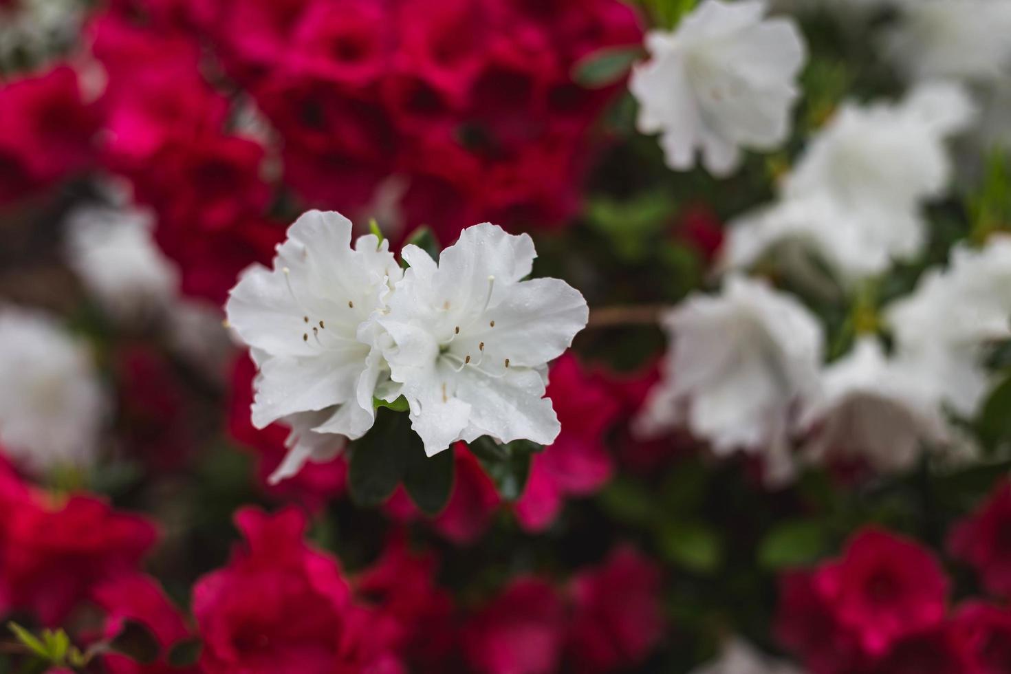 gros plan de fleurs rouges et blanches photo