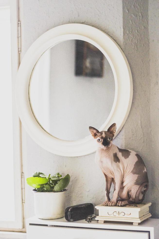 chat sphynx à côté du miroir photo