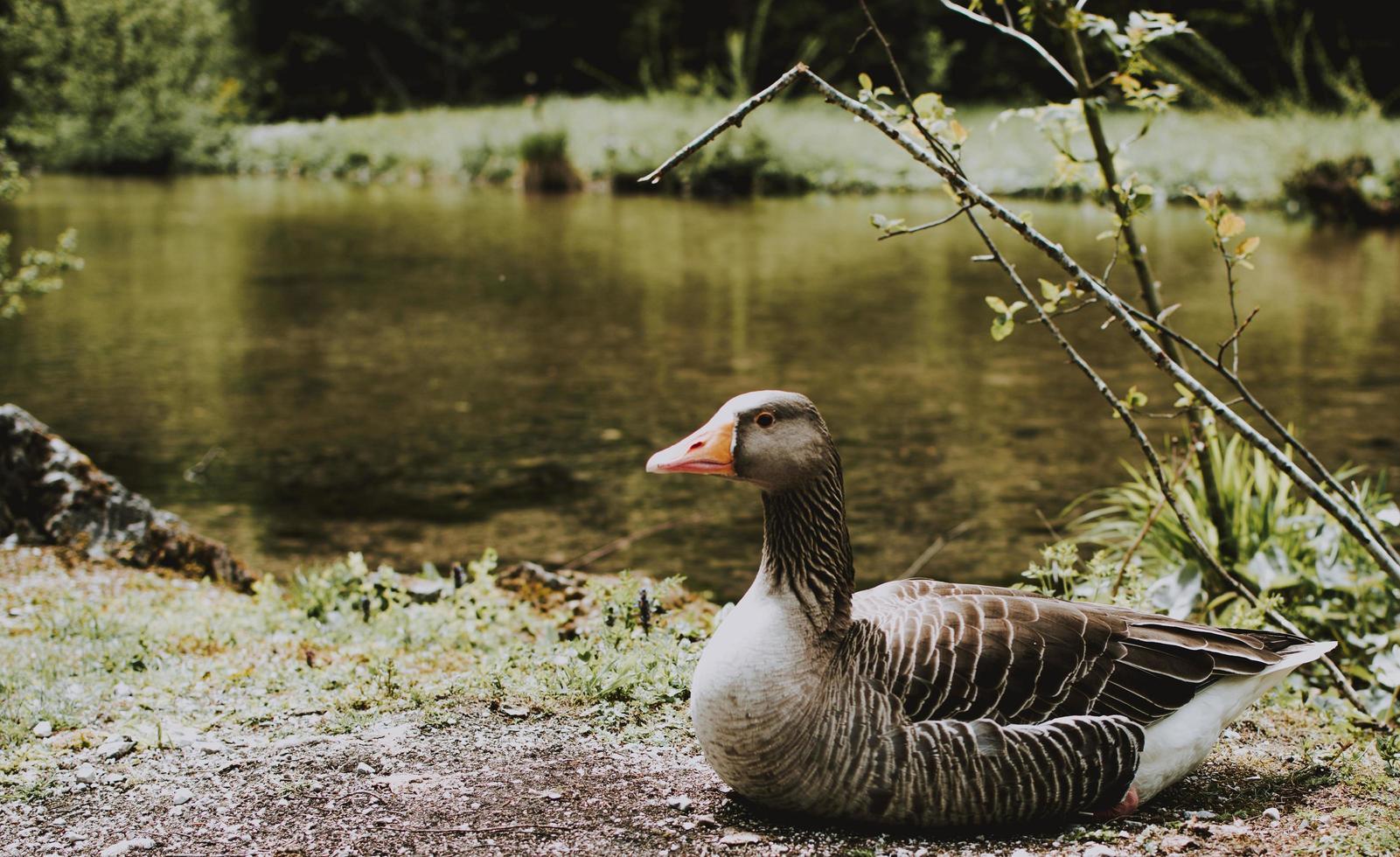 canard près d'un plan d'eau photo